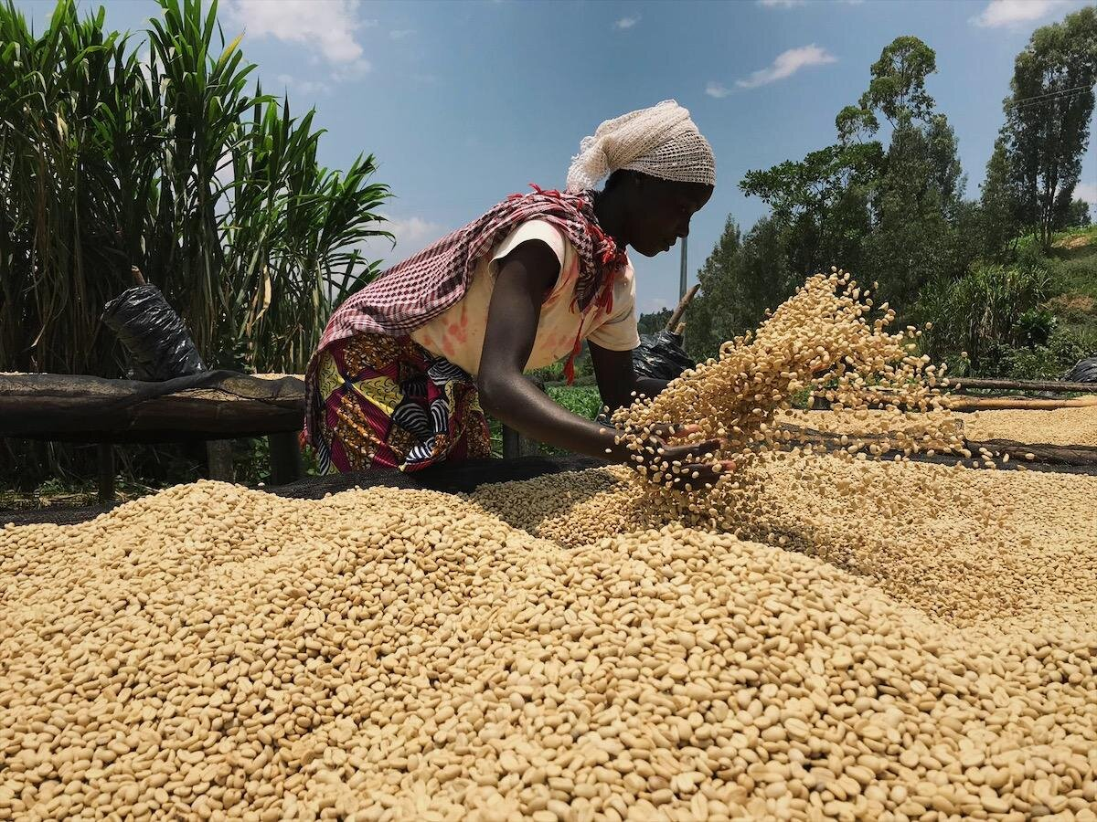 ruanda-kaffee-muhondo-washing-station-trocknung